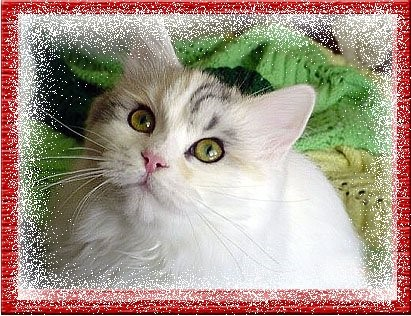 Anam Cara Siberian Cats