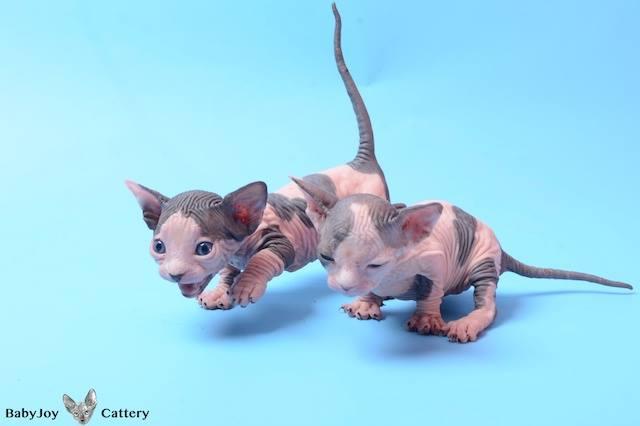Sphynx Cattery Baby Joy