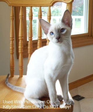 Cameo Gems Siamese Kittens