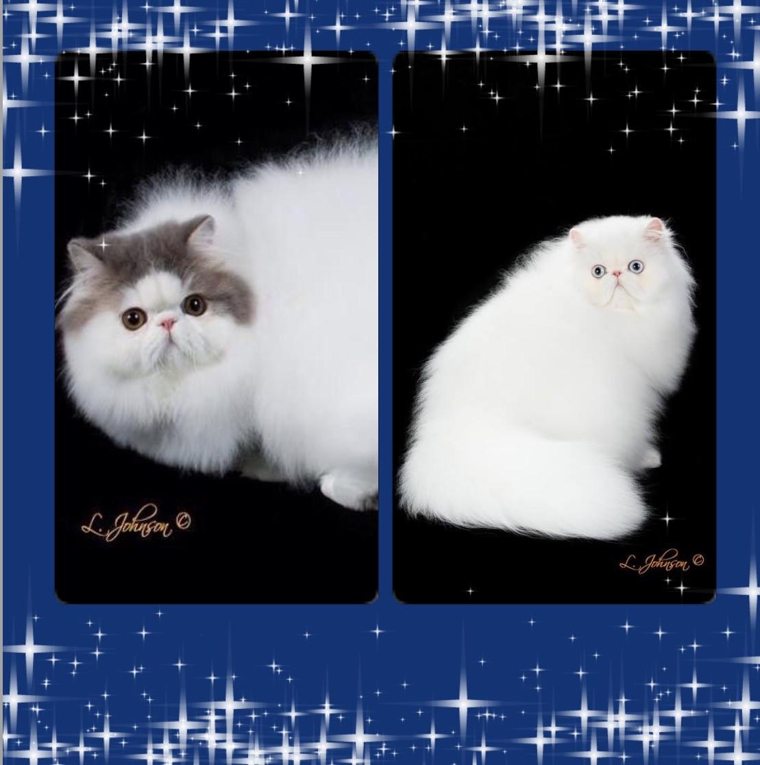 Katzeye Persians