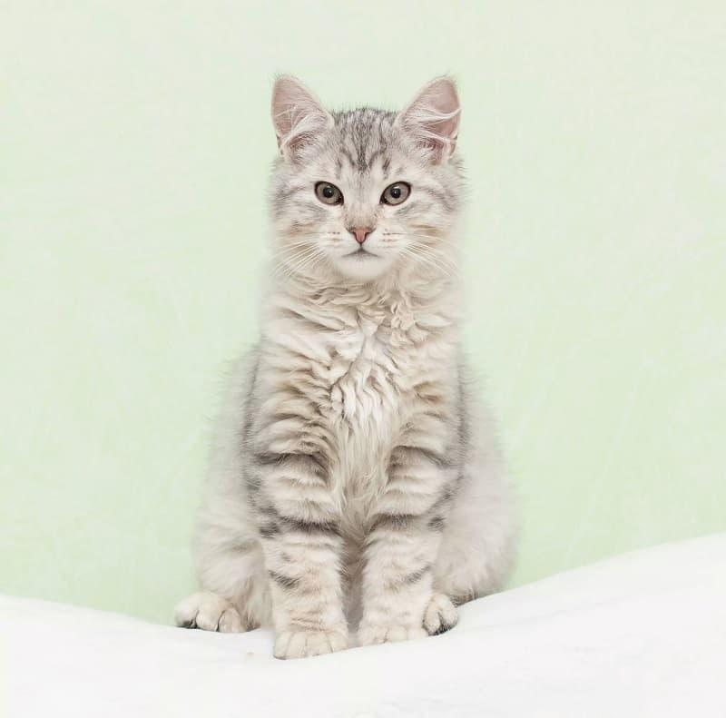 Snowy Hollow Siberian Cats