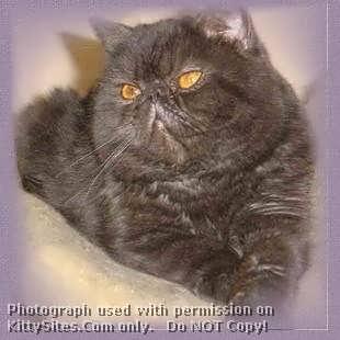 Pedigree american shorthair kittens for sale