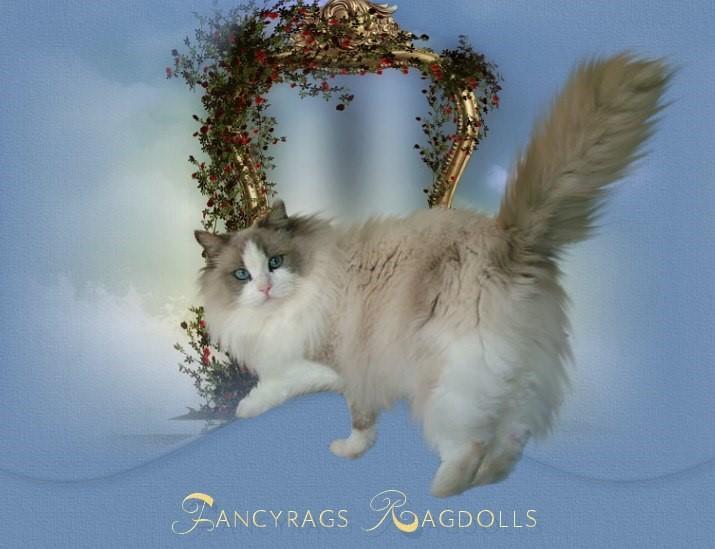 Fancyrags Ragdolls