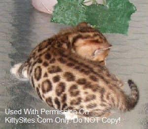 Leopardlanecats