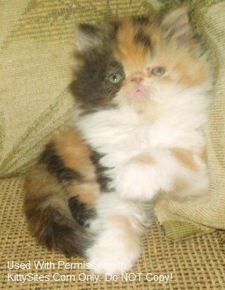 Persian cat for sale new england