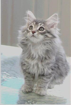 Purrshka Siberian Cats