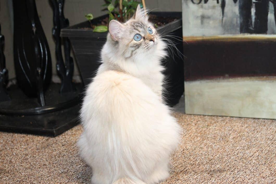 Snowy Siberian Kittens
