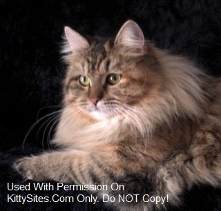 Sibano Siberian Cats and Belaya Siberians