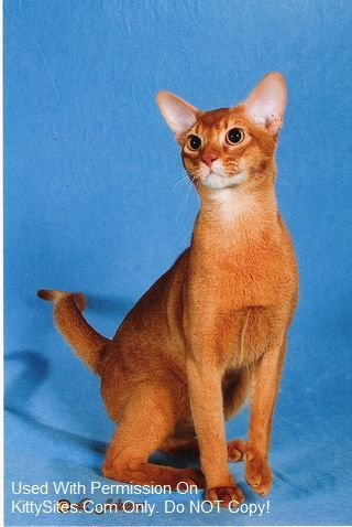We are TICA Abyssinian Breed