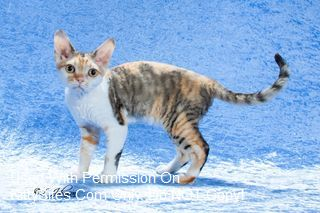 Altheas Devon Rex