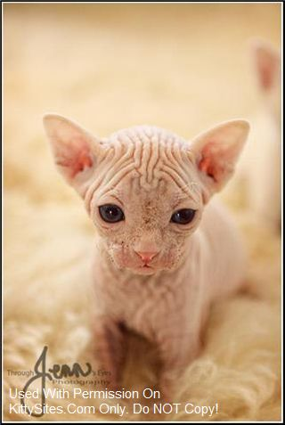 Bareenough Sphynx Cattery