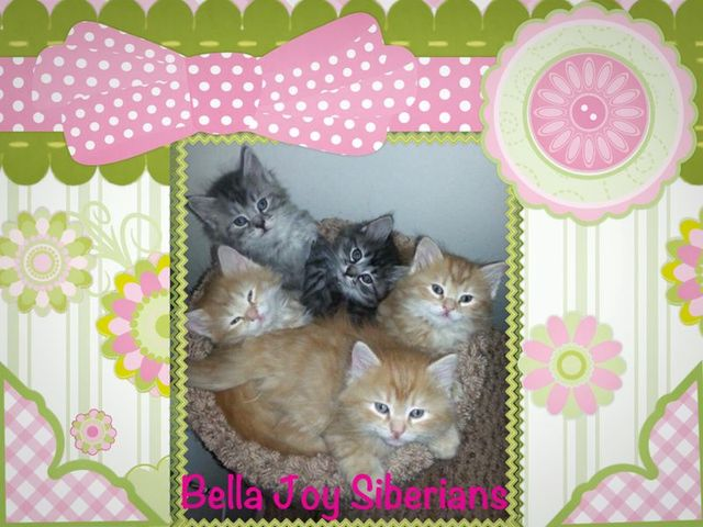 Bella Joy Siberians