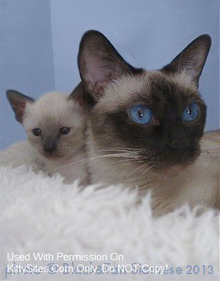 Black&Tan Old Time Siamese