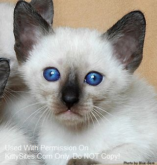 Siamese cat breeders located