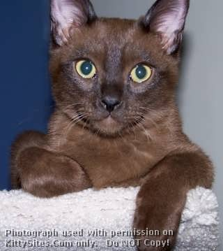 American traditional Burmese