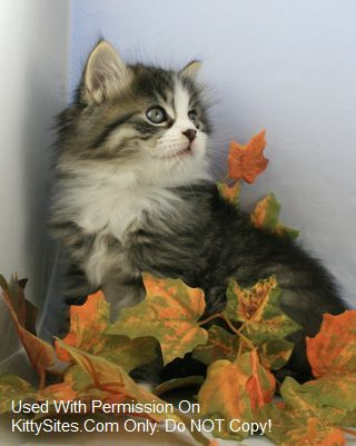 Siberian cats are kind in