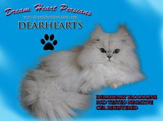 Dream Heart Persians