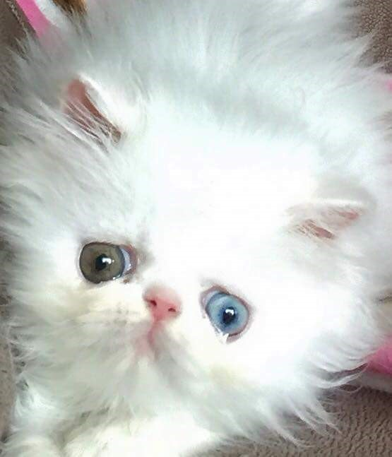 Kitten Candy Persians