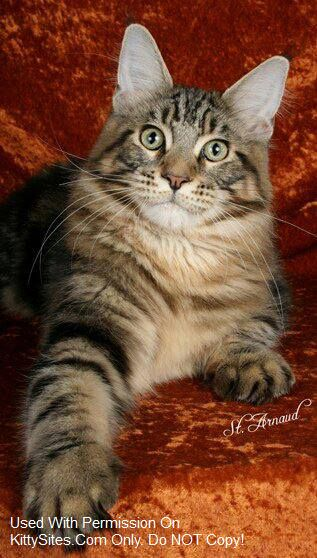 Koontyme Maine Coon Cattery