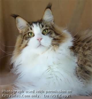 Maine Coon Breeder - Sharing