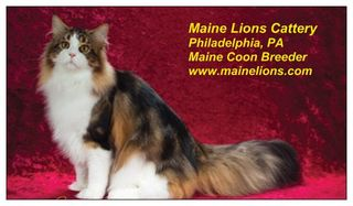 Maine Lions Cattery