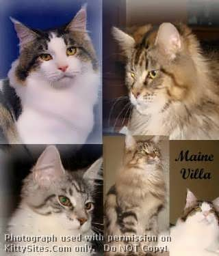 love-the Maine Coon Cat.