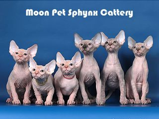 Moon Pet Sphynx Cattery