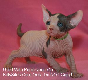 Nakedkitties Sphynx