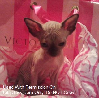 Nikki~Kitties Pink Diamond Sphynx& Bambino