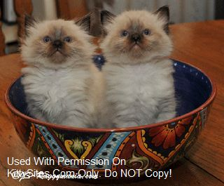 Ragdoll Kittens: from