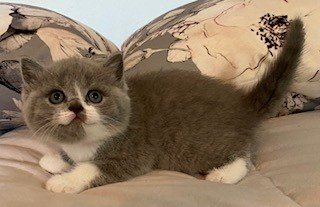 British Shorthair Cat Breeders Websites | KittySites Com