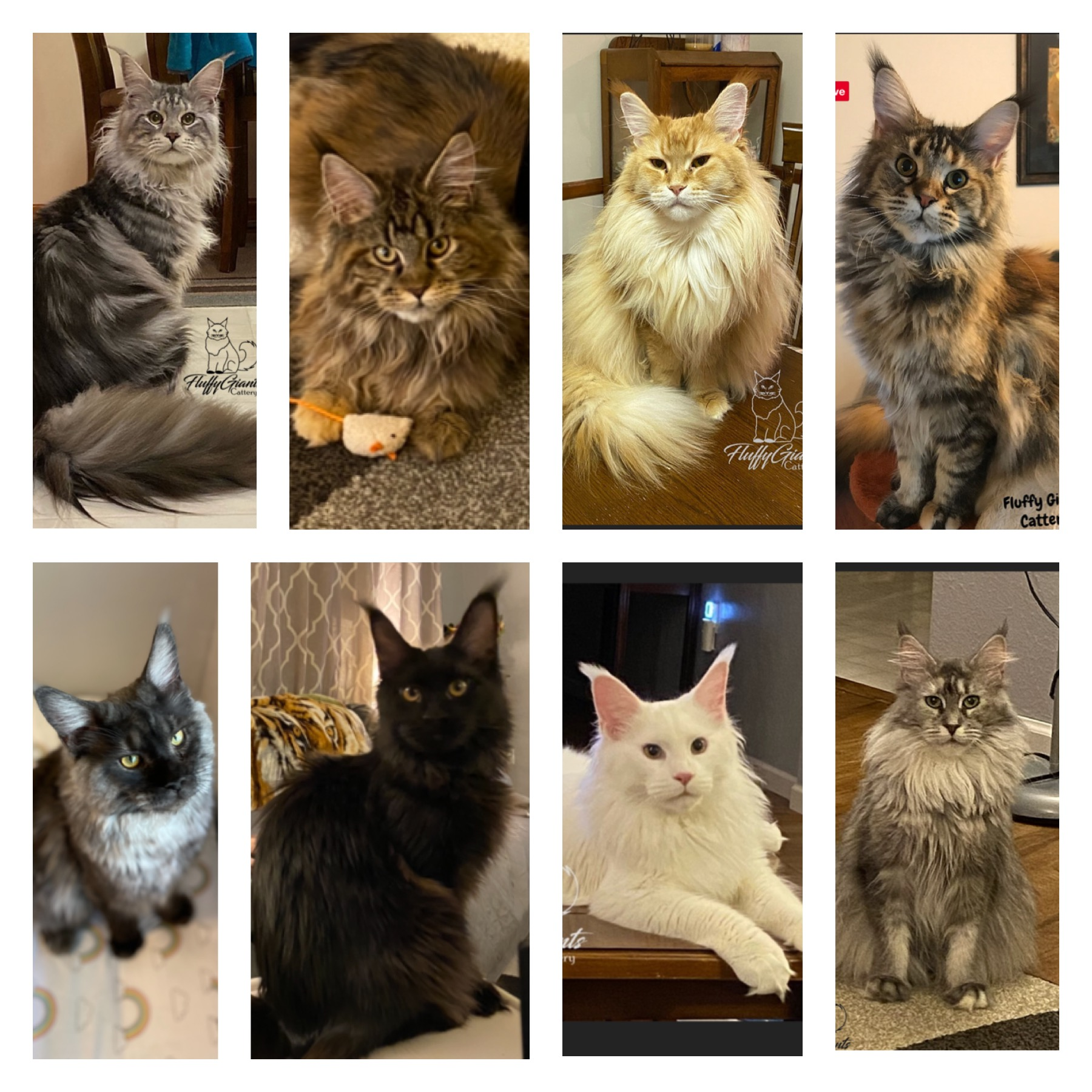 FluffyGiants Cattery