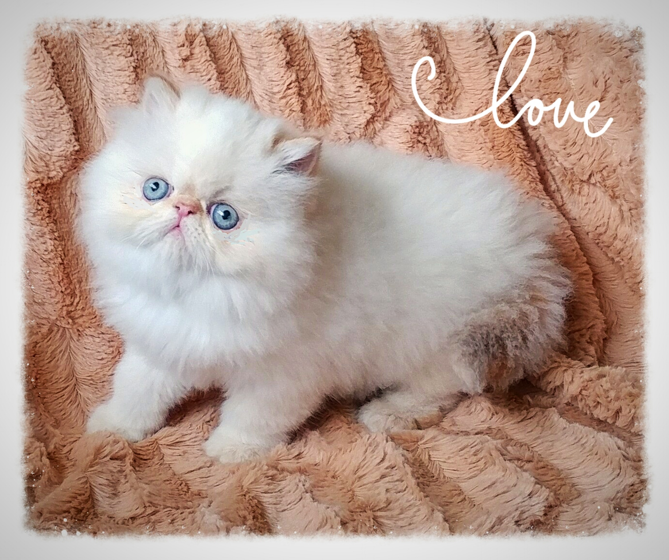 Lela Persian and Exotic shorthair