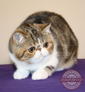 London Square Cats Exotic Shorthairs