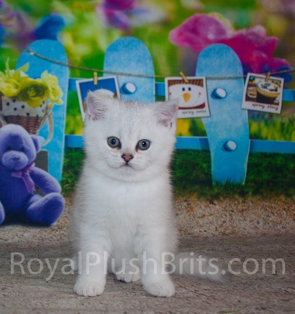 Royal Plush Brits Cattery