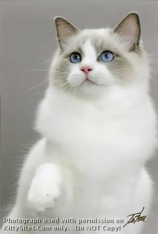 Ragdoll Cat Breeders Websites | KittySites Com