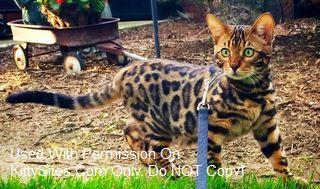 Bengal Cat Breeders Websites | KittySites Com