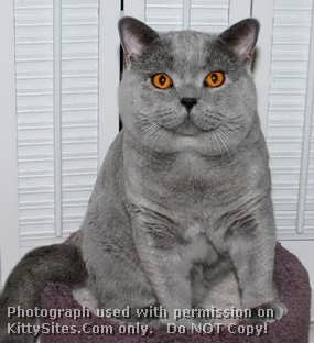 DandyBlue British Shorthair