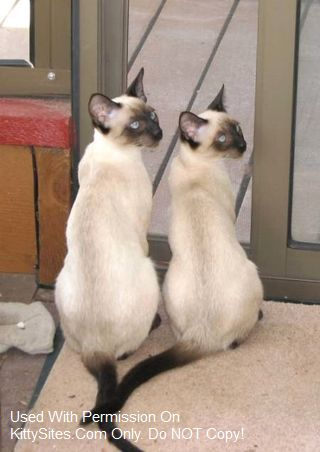 Siamese Cat Breeders Websites | KittySites Com