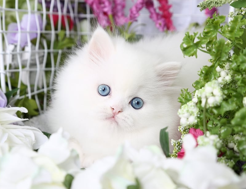 Persian cat breeders in iowa