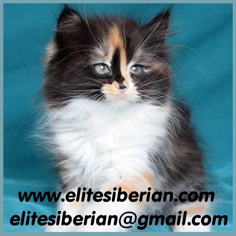elitesiberian.com