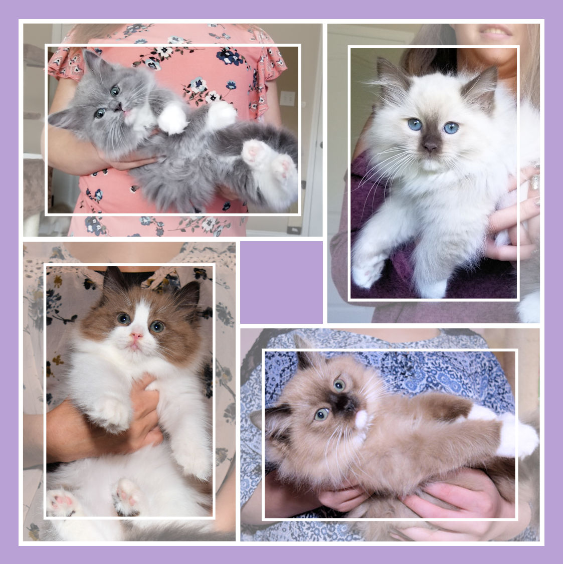 Ragdoll Cat Breeders: Alabama | KittySites Com
