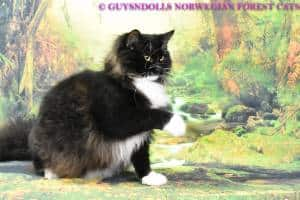Guysndolls Norwegian Forest Cats