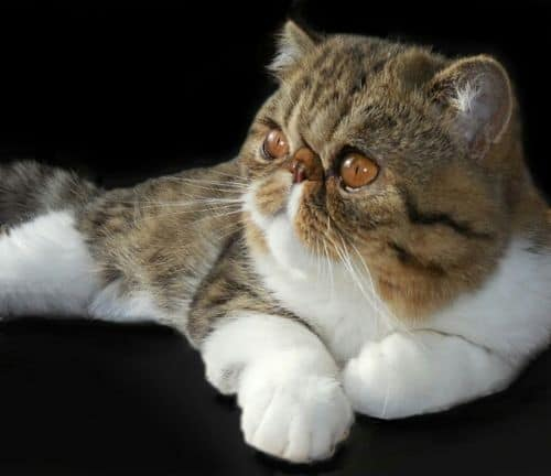 Exotic Shorthair Cat Breeders Websites | KittySites Com