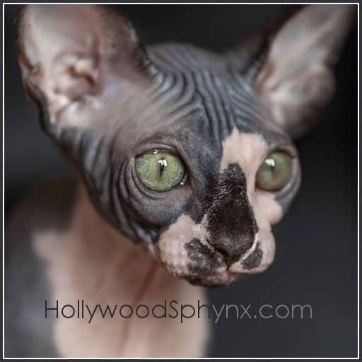 Sphynx Cat Breeders: California | KittySites Com