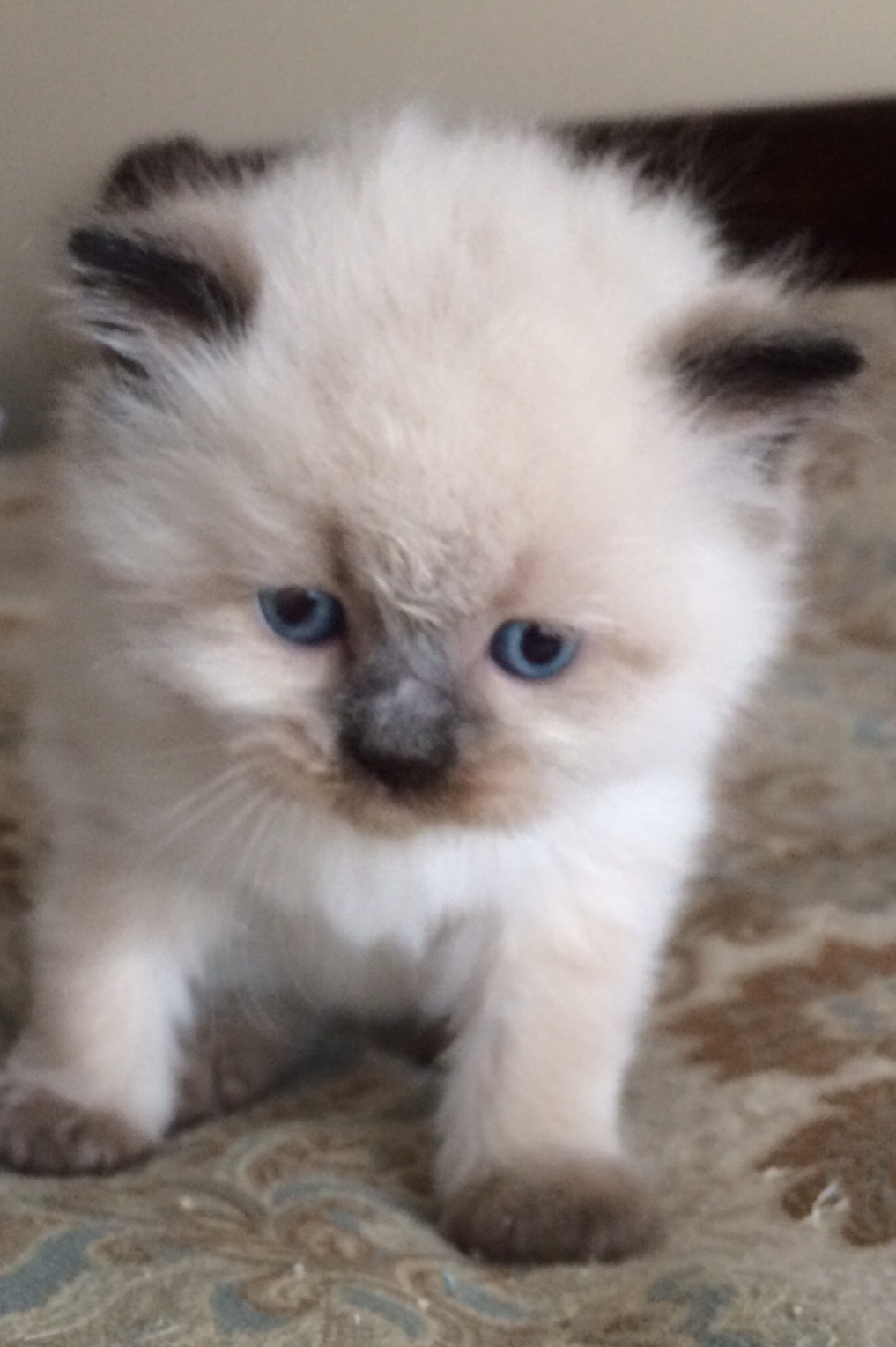 Himalayan Cat Breeders Websites