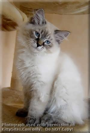 Persian cat rescue cleveland ohio