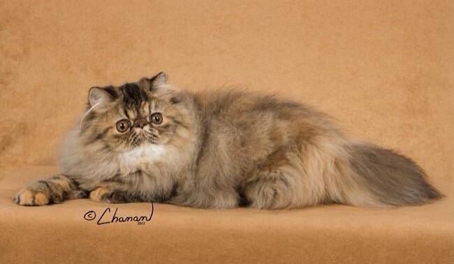 Persian Cat Breeders: Florida | KittySites.Com