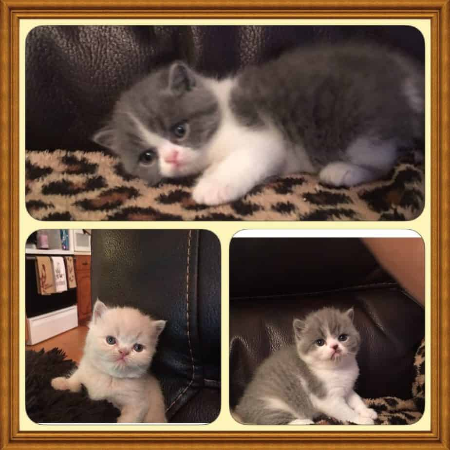 Himalayan kittens for sale wilmington nc