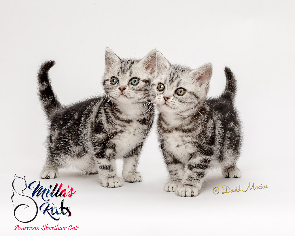 California Cat Breeders Websites | KittySites Com